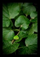 Green Frog by aemilor