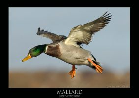 Mallard.1 by THEDOC4