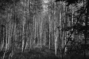 Birch Trees by TheMetronomad