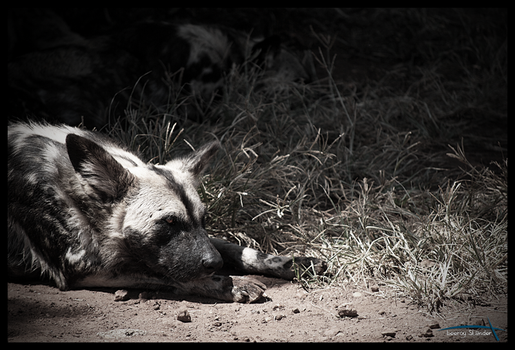 African Wild Dog - Solitary by asterixstarlight