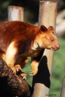 Red Tree Kangaroo and Baby by DanielleMiner
