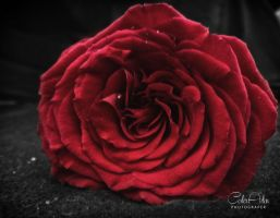 Rose by CoderAdenPhotographe