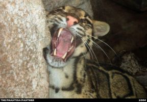 Zoo Photo - Clouded Leopard 02 by phantompanther
