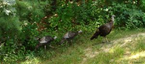 Lunch time Turkey's by natureguy
