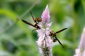 Potter wasps nectaring by Bhavesh-P