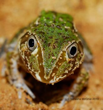 TypicalFrogFace by TypicalTash