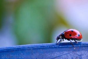Lady Beetle7 by blueMALOU