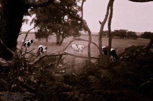 Cow in the trees by shok75