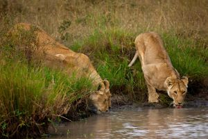 African Lion 42 by catman-suha