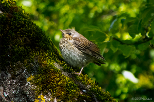 Fieldfare fledgling by Namisao