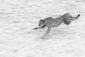 Cheetah by PeteLatham