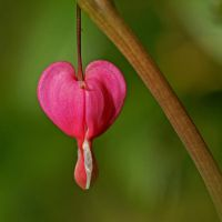 pink heart by augenweide
