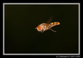 Hover Fly by andy-j-s