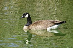 Goose Stock - 3 by CNLGraphics