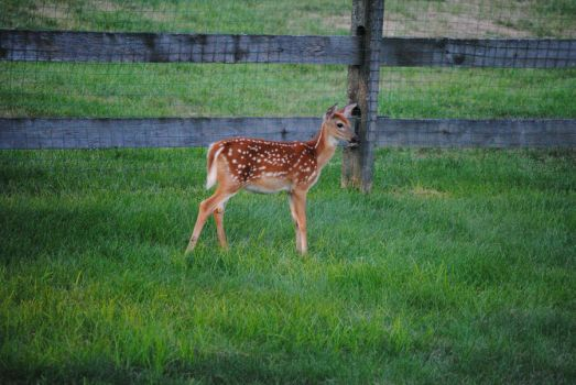 White Tailed Deer Fawn 1.4 by mocking-turtle-stock