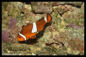ClownFish by MichelleB-Stock