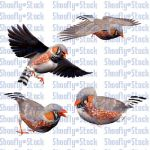Bird Stock - Zebra Finch Pack 1 by Shoofly-Stock
