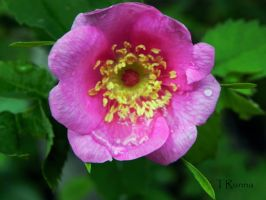 Sitka Rose by TRunna