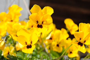 Yellow Pansies_Stock by Spunk-ness