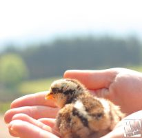 Chick in The Hand by kurtywompus