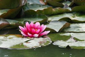 Pink Water Lily by 53kshun8