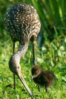 Limpkin Chick with Mom 3 by Kippenwolf