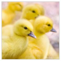 Fluffy ducklings overload by DianePhotos