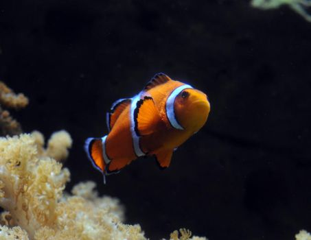 Clownfish by Oni-Grapher