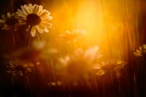 Sunset Daisies by Addran