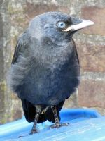 Young Jackdaw I by lauratje86