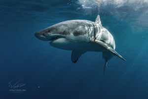 Great White Dream by Vitaly-Sokol