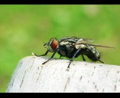 Common fly by Keiton