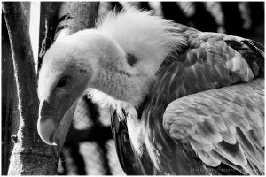 Vulture by swiftach