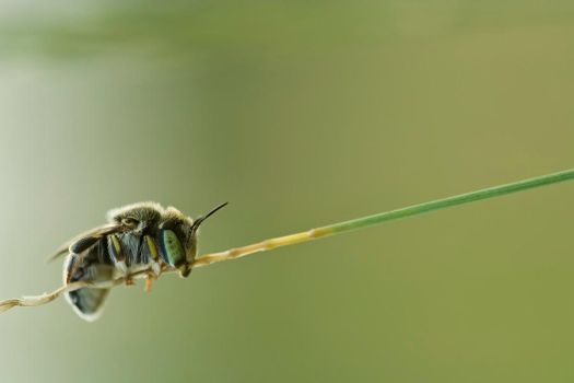Solitary bee by buleria