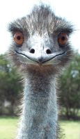 EMU1- stock by Rainny-Stock