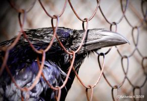 the Crow by kotka