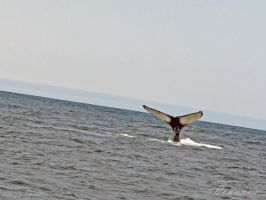 Humpback Whale Tail #2 by Loulou13