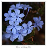 Blue Plumbago by substar