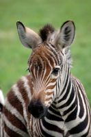 Zebra foal by hula-girl