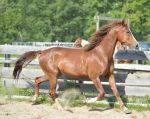 Chestnut morgan trot mane blowing by equustock