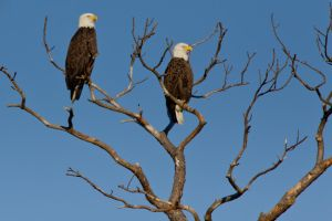 Eagle Pair by bovey-photo
