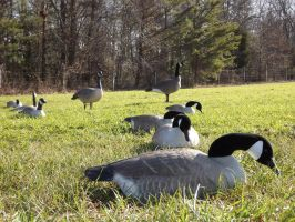 Canada Geese by Deathbypuddle