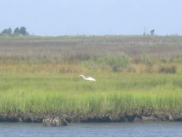 Egret Posing by kdawg7736