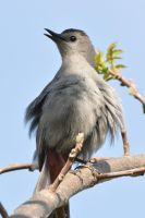 Singing Catbird. by wreckingball34