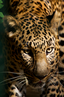 Leopard by ReneWarich