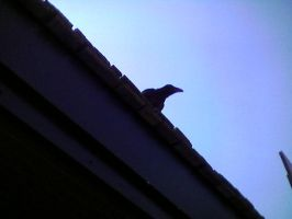 Raven on a Rooftop by MidknightStarr