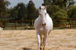 Arab trot directly front on by Chunga-Stock