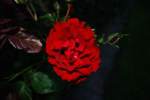 red rose Nikon D80 by TonistL