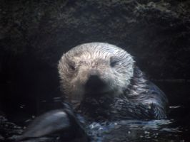 Just OK Otter Picture by Cyberpriest