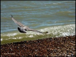 The Young Seagull by Arawn-Photography